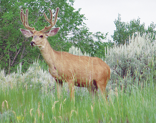 DOW to host another deer meeting