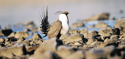 ph RBCsagegrouse