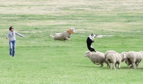 Crazy things happen when sheep fresh off summer range are challenged by top border collie/handler teams at the Meeker Classic Sheepdog Trials, which start Sept. 5 and continue through Sept. 9 at Ute Park. Many activities are planned throughout the five day event for everyone.