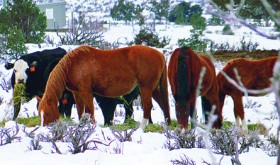 Wild horses eat hay meant for Cripple Cowboy Cow Outfit cattle. Ranchers say the horses complicate their efforts to care for the land and earn a livelihood, especially in a drought year. White River field office manager Kent Walter said that the agency has conducted horse gathers in recent years and that landowners need to submit written notification of trespassing horses to the BLM.