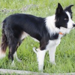 Quill, the mystery Border Collie, stands ready to round up some sheep. But, in Meeker in 2009, Elaine Wood, Ellen Nieslanik and others checked with local ranchers to see if anyone recognized the dog or claimed ownership. He had a collar but no tags. Several people came by to see Quill, but unfortunately, no one recognized him or had any idea who he might belong to.