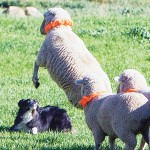"""Giving meaning to the phrase """"wild and woolly,"""" this ewe seems to doing her best to confuse the Border Collie seeking to round her up at last year's Meeker Sheepdog Classic. This year's competition begins Wednesday, Sept. 4 and runs through Sept. 8."""