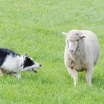 "It was handler and dog versus sheep for the Meeker Classic Sheepdog Championship Trials. The first two places went to Canadians in the trials, witnessed by roughly 6,000 ""heads,"" recognizing that some people attended more than one day."