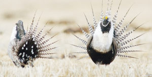 "Two male sage grouse perform the traditional ""dance"" to attract mates."