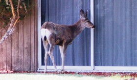 Neighborly deer…