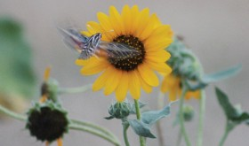 It might just be an imposter, but cruising through Rangely's sunflowers on Saturday evening was what looked at first glance to be uniquely marked hummingbird. It turned out to be a hummingbird moth, complete with a double set of wings. The insects have been spotted recently around Rangely's gardens.