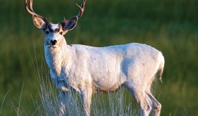 The white buck of Meeker is featured in Reneau's book along with dozens of other area people and animals. The white buck is on permanent display in the Colorado Division of Parks and Wildlife office in Meeker.