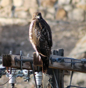 This red-tailed hawk has found itself a new home, seemingly comfortable on this telephone pole behind the Johnson Building on the Colorado Northwestern Community College campus in Rangely. Several students and employees see the hawk on a daily basis, usually behind the Johnson Building and near the back of the Holland Building. This is the normal time for the red-tailed hawk to be seen on Colorado's Western Slope.