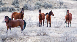 These wild horses are part of the West Douglas herd, one of two wild herds in Rio Blanco County. After a recent meeting, it appears there is still no agreement on whether the horses should be herded and moved or the numbers reduced in the herds.