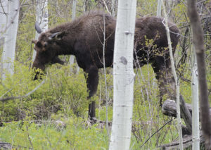 This lone bull moose, which is just starting to sprout his antlers for the year, was fairly well unbothered by the passing vehicles high up on County Road 8 on May 20, just a couple miles below the turn off to Trapper's Lake. He ran across the road from one aspen grove to another, then stopped to eat for several minutes, roughly 25 yards off the road.