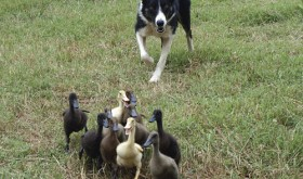 "Long-time Meeker sheepdog handler and competitor Dawn Boyce will orchestrate her ""Ducks in Space"" production in Meeker this year.  Showing off her border collie talent and instinct, Boyce will entertain the crowd with her dogs all the way from Georgia and their duck-herding skills."