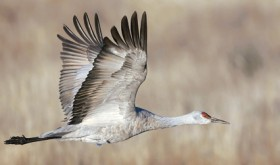 This majestic and streamlined sandhill crane is the model for the Annual Yampa Valley Sandhill Crane Festival, held September 10-14 in Steamboat Springs and Hayden. During the festival, which features all things sandhill crane, there will be a variety of activities and fun times to be had.