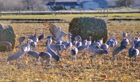 phrgGroupOfSandhill Cranes