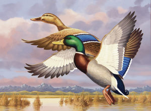 "Five judges from the Colorado Waterfowl Stamp Art Committee analyzed 20 entries on Dec. 9 then chose artist Guy Crittenden's original art titled ""Colorado marsh mallards"" as the state's 2016 Waterfowl stamp."