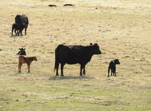 Three weeks ago, it was tough to spot any newborn calves in Rio Blanco County. Now, however, even though it is still March for a couple more days, calves can easily be counted in all directions from the lower valleys up toward the mountains east of Meeker.