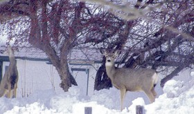 One way to find food that is buried under the deep snow is to look up into the trees as these two mule deer does are doing at the intersection of Fourth and Park streets in Rangely. Deep snow throughout both ends of Rio Blanco County have the deer looking to trees and shrubs they can reach as anything sprouting from the ground remains hidden under feet of snow.