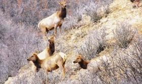 Elk in springtime…