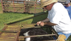 Branding of the calves is ranchers' rite of spring