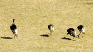 The spring weather has the wild critters of Rio Blanco County on the prowl, and these four hen turkeys are no exception. Enjoying the beautiful spring weather, these four young ladies were spotted recently just off County Road 4, east of Meeker.