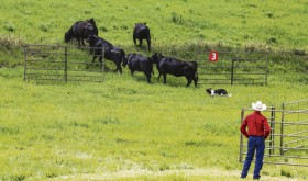 Lyle East of Clinton, Mo., works his dog with some cattle during the NCA Finals in Steamboat Springs. East will be one of the border collie handlers competing in Meeker during the NCA Finals in June.