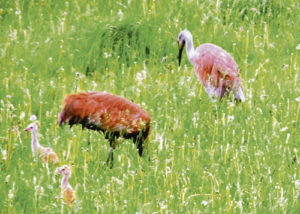 There is a new family of sandhill cranes in Rio Blanco County. This mom, dad and two young cranes were spotted Saturday afternoon along County Road 36, south of Meeker. Several sightings of sandhill cranes have been noted this spring, particularly in eastern Rio Blanco County.