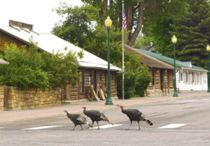 Taking advantage of the early morning lull, little traffic and even using the newly painted crosswalk at 6th and Park streets in downtown Meeker, these three turkeys decided Saturday morning was a good time  to cross the road on their way to somewhere safe to spend the day.