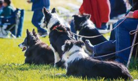 Above, several border collies are seen resting in the sun awaiting each of their turns in the Meeker Classic Championship Sheepdog Trials, which will be held Sept. 7-11 this year at Ute Park.