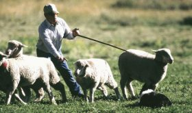 Meeker Classic Sheepdog Trials are the 'real deal' around the world