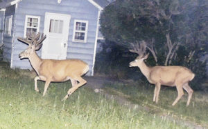These are two nice, large bucks on the prowl along Cleveland Street in Meeker about 11 p.m. on Sunday. One gets the feeling that with their racks so large in July it might be a good thing these potentially top-quality antlers belong to animals that will most likely stay safe inside the city limits, where they can't legally be shot.