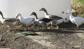 Geese in the garden…