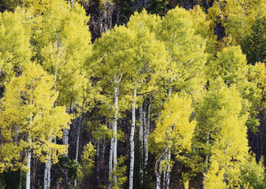 Celebrate America's Scenic Byways 25th anniversary this month in Rio Blanco County and enjoy the fall colors. This photo is of Douglas Pass aspens on the Dinosaur Diamond National Scenic and Prehistoric Byway on the west side of the county from Dinosaur through Rangely and over Douglas Pass to Fruita. On the west side, take the Flat Tops Scenic Byway from Meeker to Yampa.