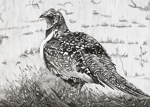 Sage grouse drawing - photo#37